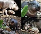 Ippopotamo pigmeo al Taronga Zoo