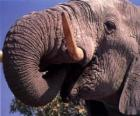 Elephant mangiare