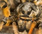 Una tarantola, un ragno di grandi dimensioni con lunghe gambe piene di peli