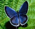 farfalla blu con le ali spalancate