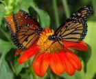 due splendide farfalle faccia a faccia