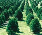 coltivazione di alberi di Natale