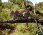 Giaguaro su un ramo di albero