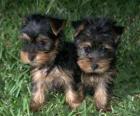 Cuccioli Yorkshire Terrier