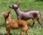 Il cane nudo messicano o Xoloitzcuintle è una razza canina di taglia di 28-31 cm e peso sui 4-8 kg.