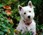 West Highland White Terrier è una razza di cane della Scozia, noto per la sua personalità brillante e bianco