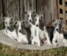 Cuccioli Whippet