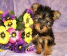 Cuccioli Australian Silky Terrier