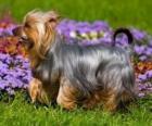 Australian Silky Terrier o un terrier è originario dell'Australia