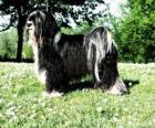 Il tibetan terrier è una razza canina originaria del Tibet