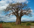 Baobab africano