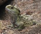 Il Tuatara sono rettili endemiche delle isole circostanti in Nuova Zelanda
