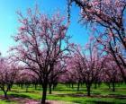 Alberi in fiore mandorle in primavera