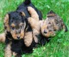Cuccioli Welsh Terrier