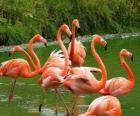 Fenicotteri nell'acqua, grandi uccelli acquatici con piumaggio rosa