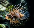 Pesce scorpione, Pesce cobra o Pesce leone