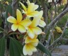 Plumeria giallo