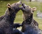 Due orsi in acqua