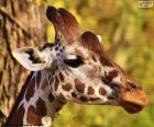 La testa di una giovane giraffa, piccola e allungata