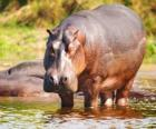 Selvaggio ippopotamo