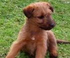 Cucciolo di Irish Terrier