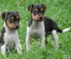Cuccioli di Terrier brazileiro