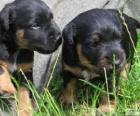 Cuccioli di Terrier tedesco o Jagdterrier