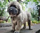 Cucciolo cane da pastore di Ciarplanina