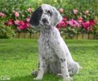 Cucciolo Setter inglese