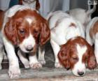 Cuccioli Setter irlandese rosso e bianco