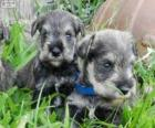 Cuccioli di Schnauzer nano