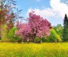 Albero di ciliegio in primavera