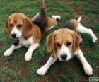 Cuccioli American Foxhound