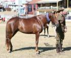 Waler cavallo originaria dell'Australia