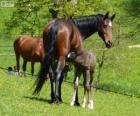 Württemberger o Württemberg, cavallo originaria della Germania
