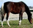 Wielkopolski cavallo originario della Polonia