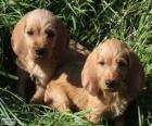 Cuccioli Bassett fauve de bretagne