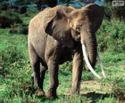 Un elefante con zanne