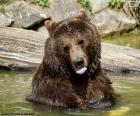 Grande orso in acqua
