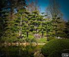 Sugi o cedro giapponese