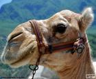 Testa del cammello arabo
