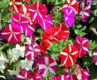 Rompicapo di Fiori della petunia