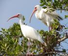 Ibis bianco