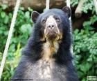 L'orso dagli occhiali, orso andino, è di taglia media e abita nella Cordigliera delle Ande, America del sud