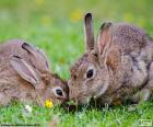 Rompicapo di Due conigli mangiare