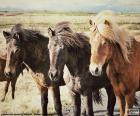 Tre cavalli islandesi