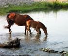 Cavalla e puledro che beve acqua dolce dal fiume