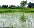 Campo di riso, Indonesia