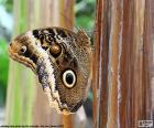 Farfalla del gufo