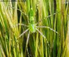 Ragno lince verde